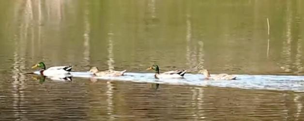 Gli uccelli nella natura al parco canale dello stagno for Gli animali dello stagno